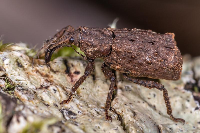 Weevil (Cuneopterus conicus). Truman Track, Punakaiki, Westland.