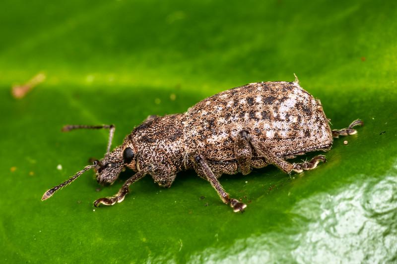 Broad-nosed weevil (Dyslobus granicollis). Patricks Point, Humboldt County, California.