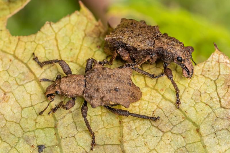 Weevil (Lyperobates spp.). Marokopa Falls Track, Waikato.