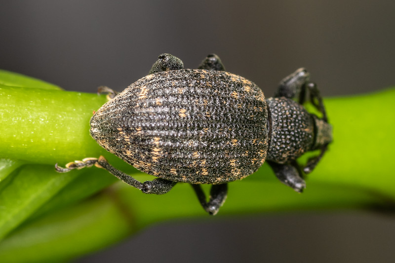 Black vine weevil (Otiorhynchus sulcatus). Patricks Point, Humboldt County, California.