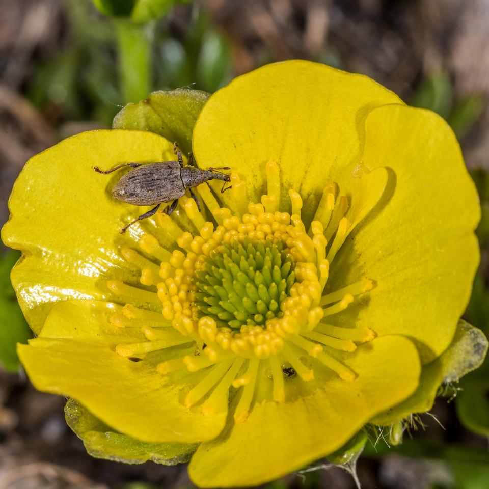 Weevil (Peristoreus spp.) on silky alpine buttercup (Ranunculus sericophyllus). Black Lake, Gertrude Valley, Fiordland National Park.