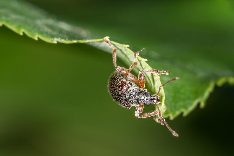 Brown leaf weevil (Phyllobius oblongus). George H. Crosby - Manitou State Park, Minnesota