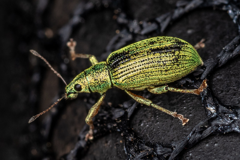 Green immigrant leaf weevil (Polydrusus formosus). Wild River State Park, MN, USA.