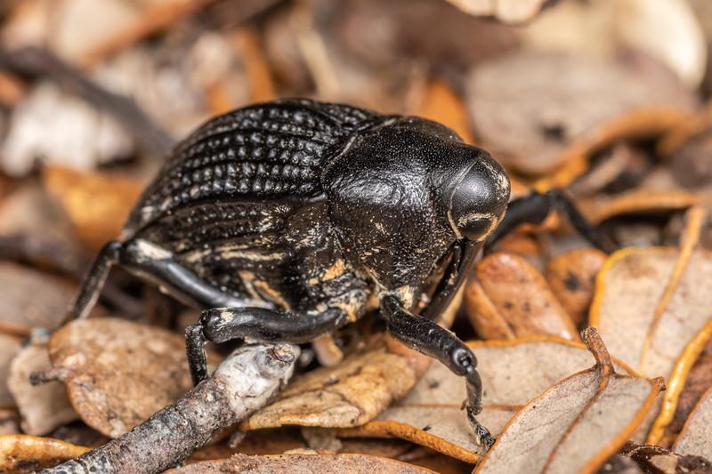 Elephant weevil (Rhynchodes ursus). Richmond Saddle.<br /> Richmond Range, Marlborough.