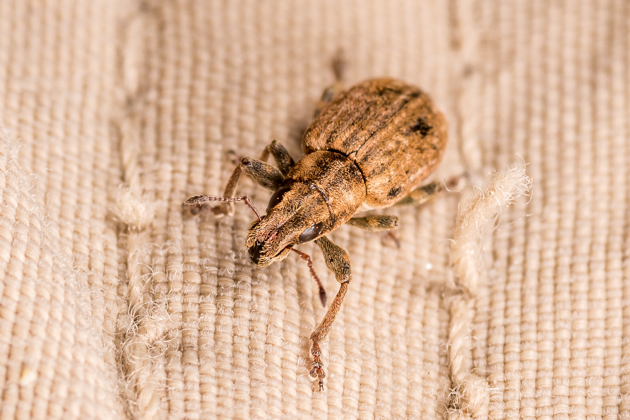 Clover root weevil (Sitona lepidus). <br /> OBHS Lodge, Matukituki River West Branch.