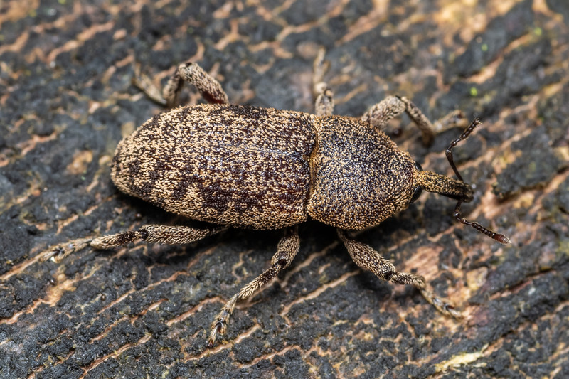 Weevil (Strongylopterus hylobioides). Lady Bay, Long Sound, Fiordland National Park.