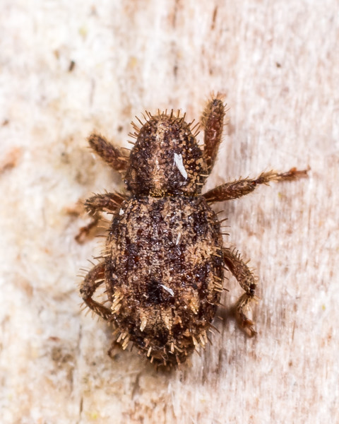 Weevil (Synacalles spp.). Lake Monk, Fiordland National Park.