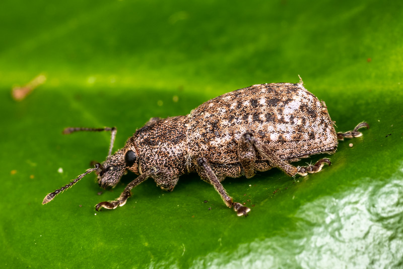 Broad-nosed weevil (subfamily Entiminae). Patricks Point, Humboldt County, California.
