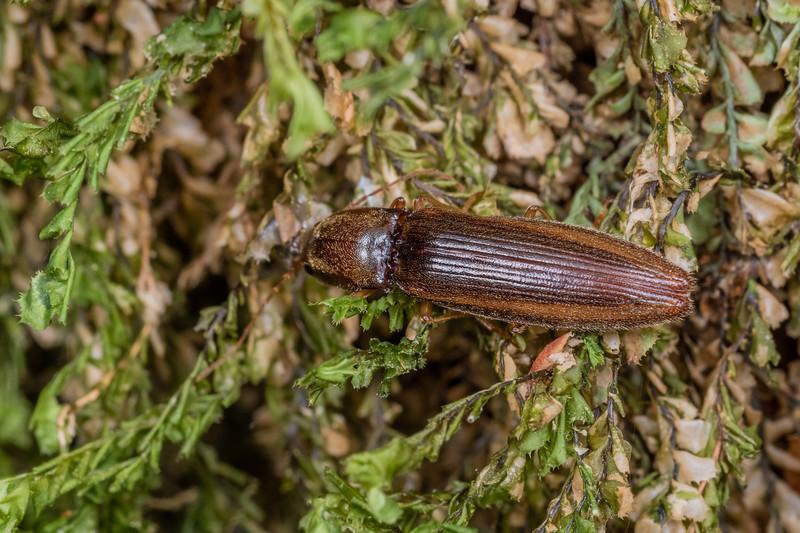 Click beetle (Family Elateridae). Bulmer Creek, Mt Owen, Kahurangi National Park.