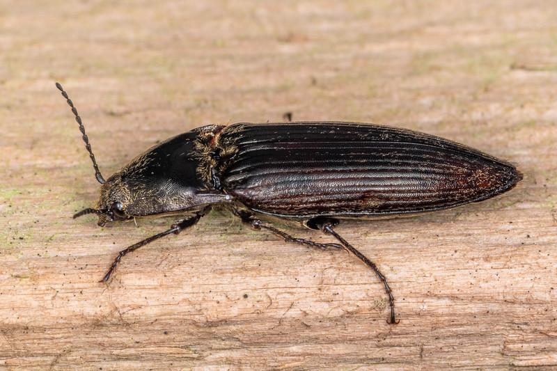 Click beetle (Family Elateridae). Blowfly Hut, Moeraki River, Westland.