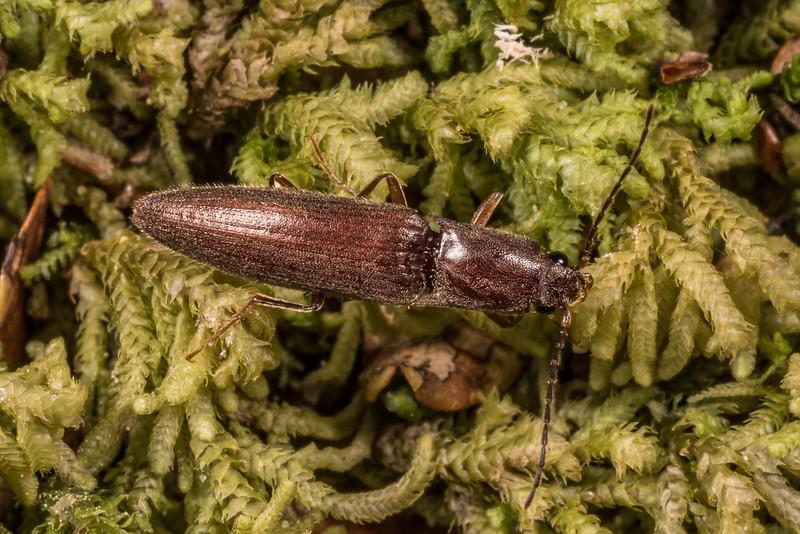 Click beetle (Family Elateridae). Cave Creek, Heaphy Track, Kahurangi National Park.