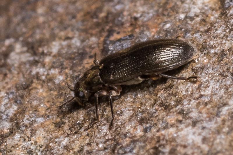 A riffle beetle (Family Elmidae) of the Genus Hydora. Cave Creek, Gouland Downs, Kahurangi National Park.
