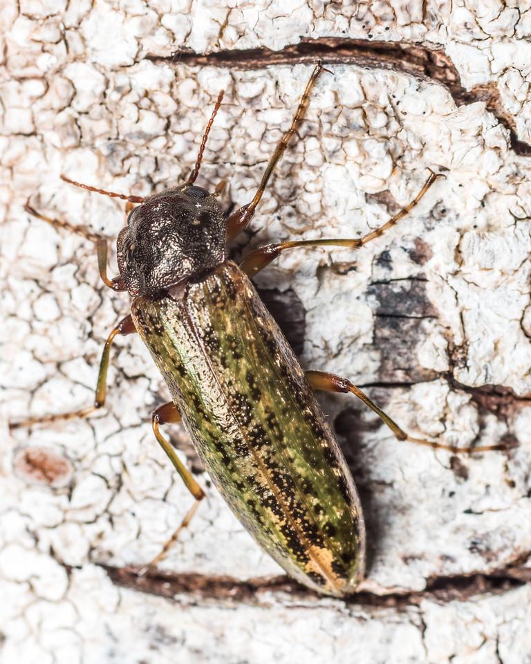 Darkling beetle (Chalcodrya variegata). Lake Monk, Fiordland National Park.