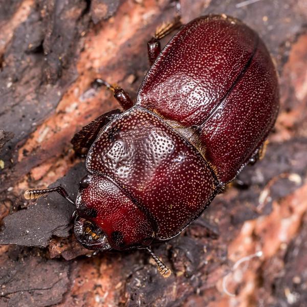 Chatham Island stag beetle (Geodorcus capito) female. Rangaika Scenic Reserve, Chatham Island.