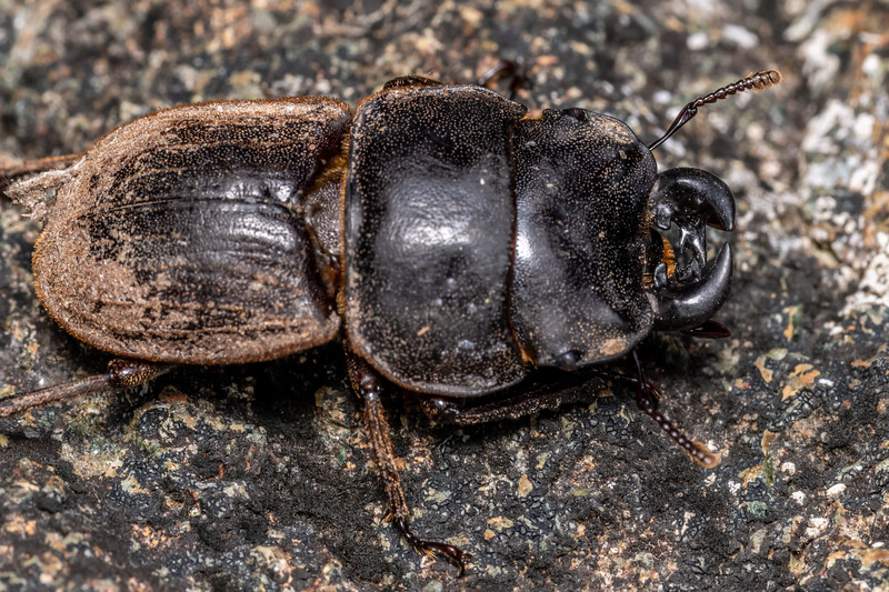 Helms's stag beetle (Geodorcus helmsi). Skippers Range, Fiordland National Park.