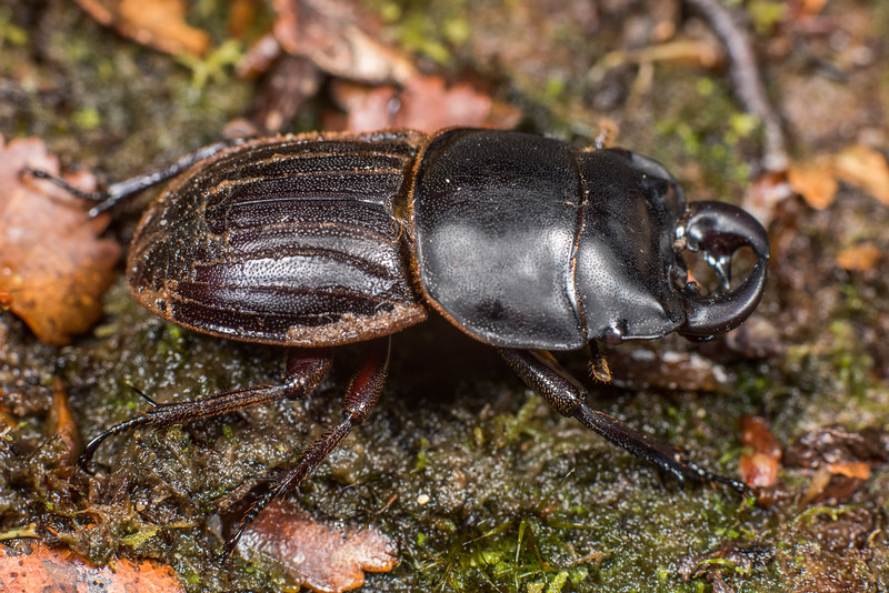 Helms's stag beetle (Geodorcus helmsi). South Coast Track between Francis and Edwin Burn viaducts, Fiordland National Park.