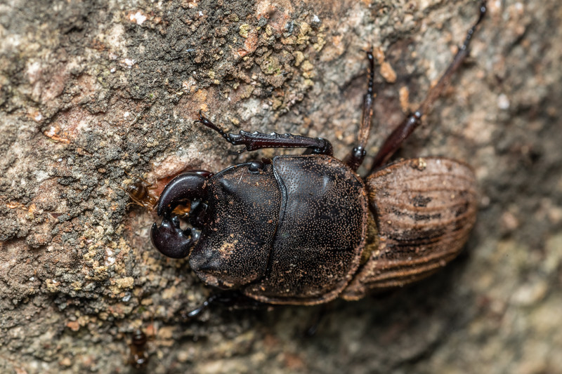 Helm's stag beetle (Geodorcus helmsi). Puysegur Point, Fiordland National Park.