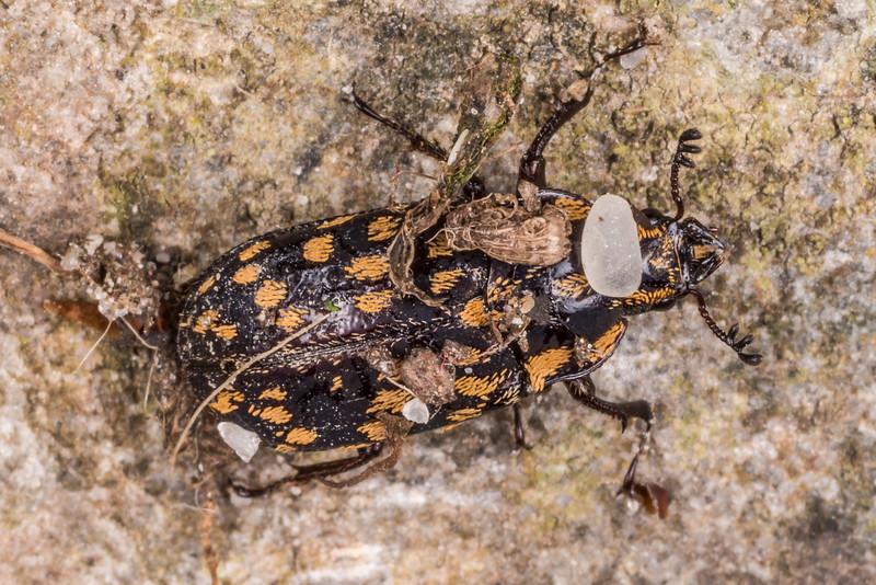 Mitophyllus foveolatus (a stag beetle). Gouland Downs Hut, Heaphy Track, Kahurangi National Park.