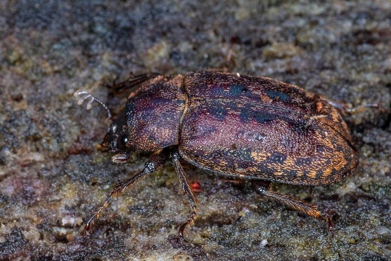 Stag beetle (Mitophyllus parrianus). George Sound, Fiordland National Park.