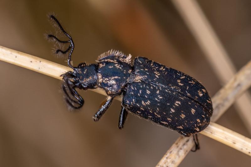 Stag beetle (Mitophyllus spp.). Buckland Peaks, Paparoa Range.