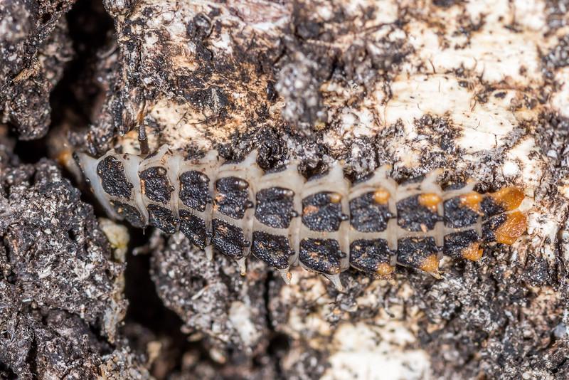 Redwinged lycid beetle (Porrostoma rufipennis) larva. Awapoto Hut, Abel Tasman National Park.