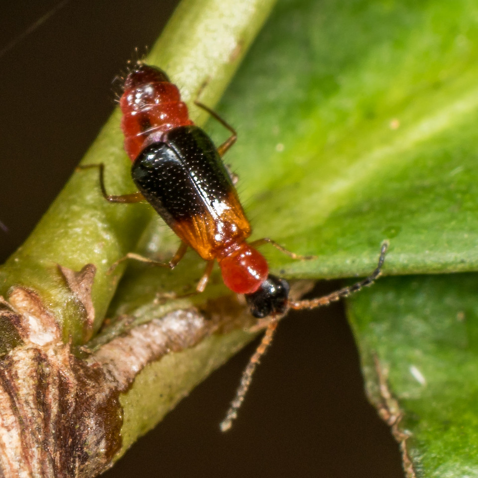 Malachite beetle (Carphurus spp.). D'Aguilar National Park, Brisbane, Australia.