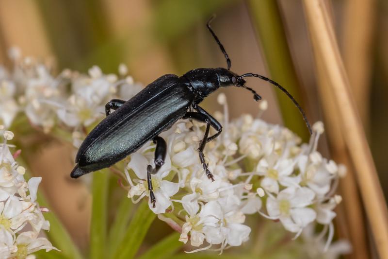 Soft-winged flower beetle (Melyridae). Buckland Peaks, Paparoa Range.