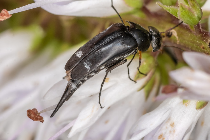 Tumbling flower beetle (Mordella promiscua). Sinclair Wetlands, Dunedin.