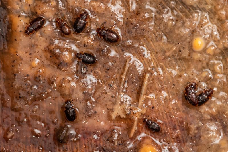 Sap-feeding beetles (Epuraea mayendorfii). Duncan Bay, Tennyson Inlet, Marlborough Sounds.