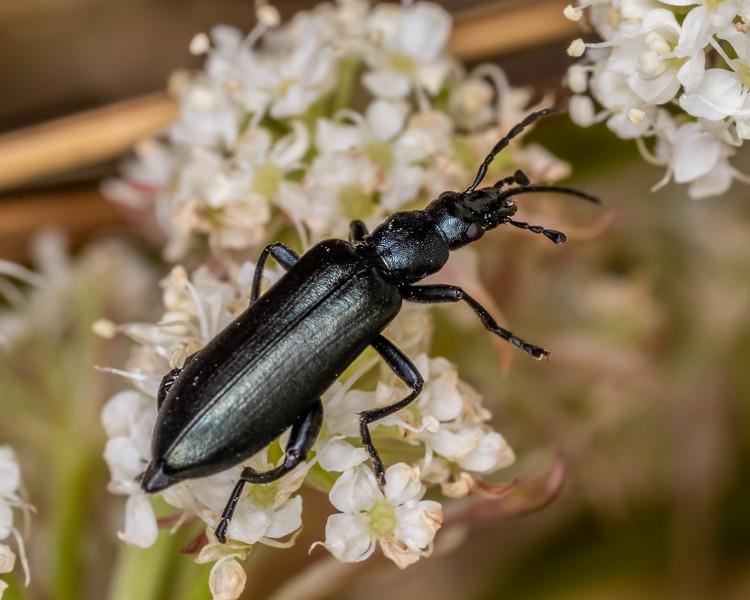 Lax beetle (Selenopalpus aciphyllae). Buckland Peaks, Paparoa Range.