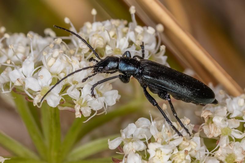 Lax beetle (Selenopalpus sp.). Buckland Peaks, Paparoa Range.