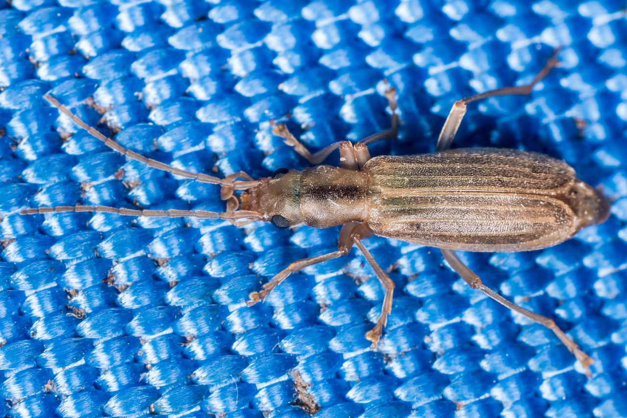 False blister beetle (Thelyphassa brouni). Westies Hut, Prices Harbour, Fiordland National Park.