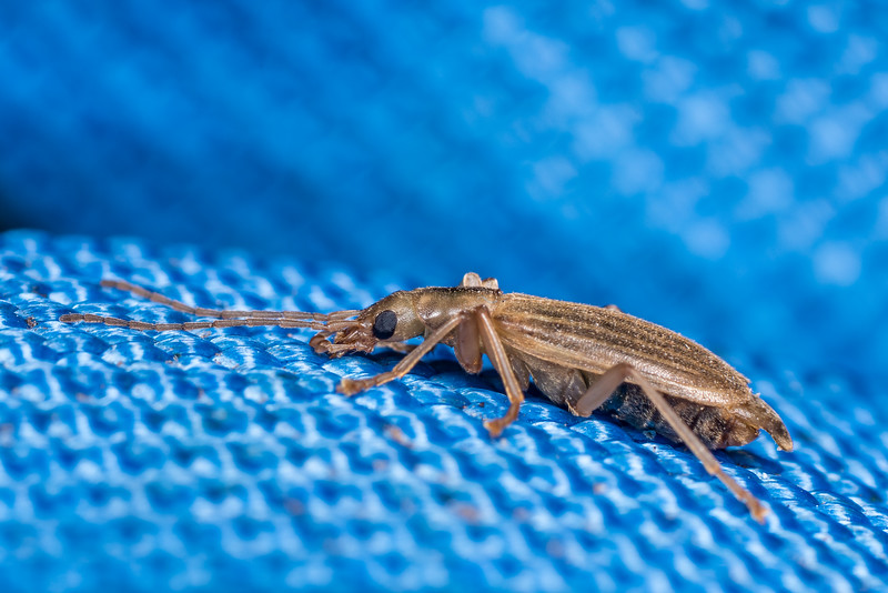 False blister beetle (Thelyphassa brouni). Westies Hut, Prices Harbour, Fiordland National Park.