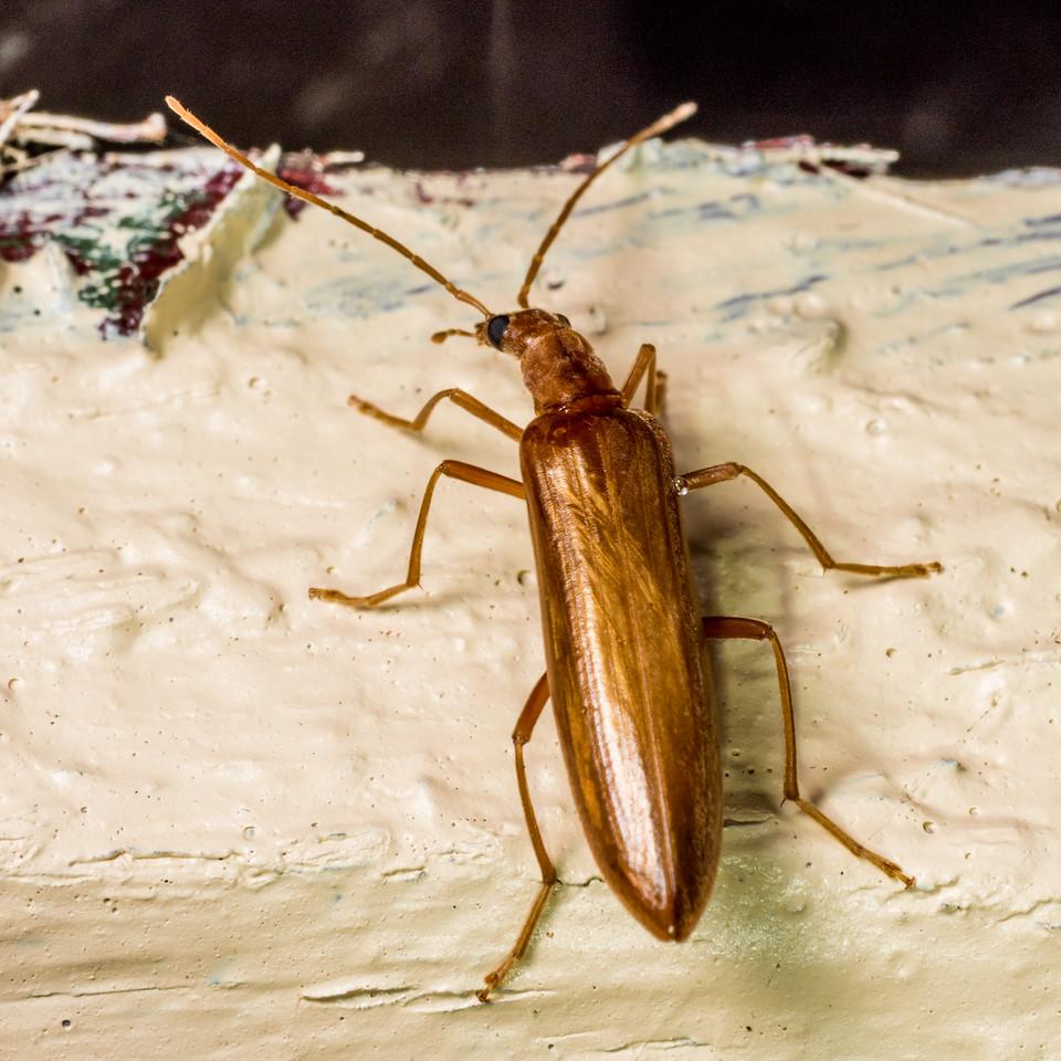 False blister beetle (Family Oedemeridae). Flora Hut, Kahurangi National Park.
