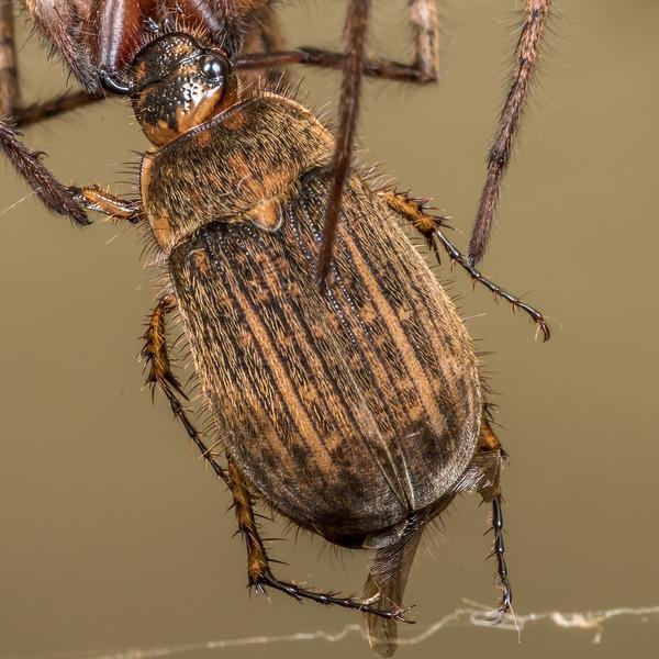 Striped chafer (Odontria striata) preyed upon by sheetweb spider (Cambridgea spp.). Opoho, Dunedin.