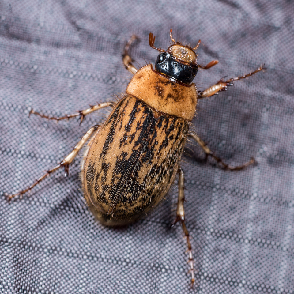 Chafer (Odontria spp.) (or is it Prodontria prelatella?). Lake Monk, Fiordland National Park.