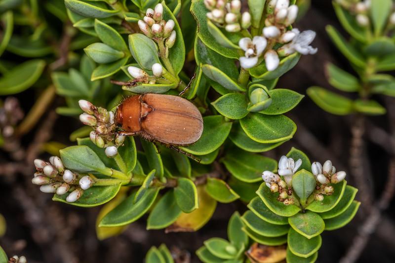 Scarab beetle (Odontria spp.) on Veronica topiaria. Blue Creek, Mount Owen, Kahurangi National Park.