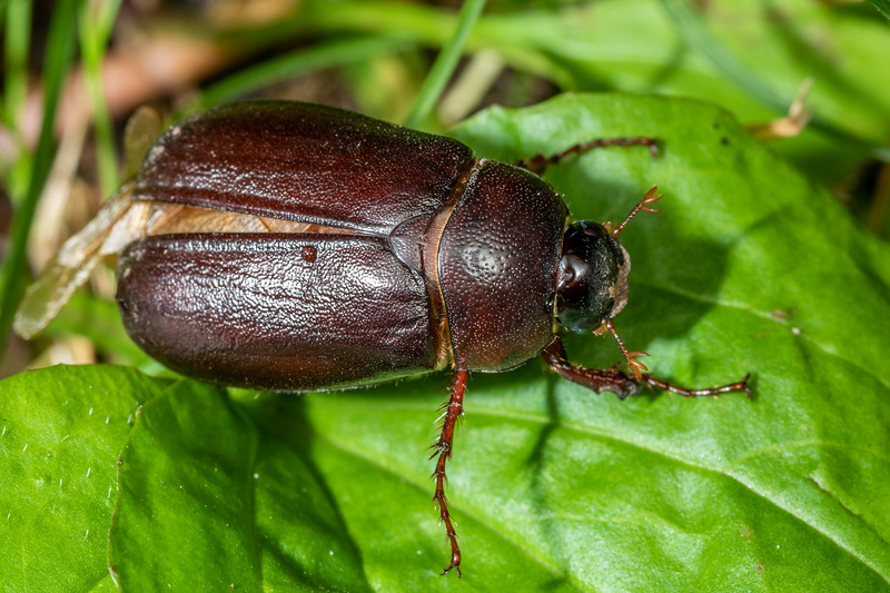 May beetle (Phyllophaga spp.). Wild River State Park, MN, USA.