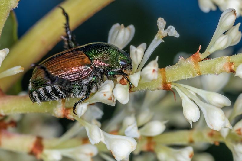 Japanese beetle (Popillia japonica) on Asiatic knotweed (Reynoutria japonica). Fish Lake, Maple Grove, MN, USA.