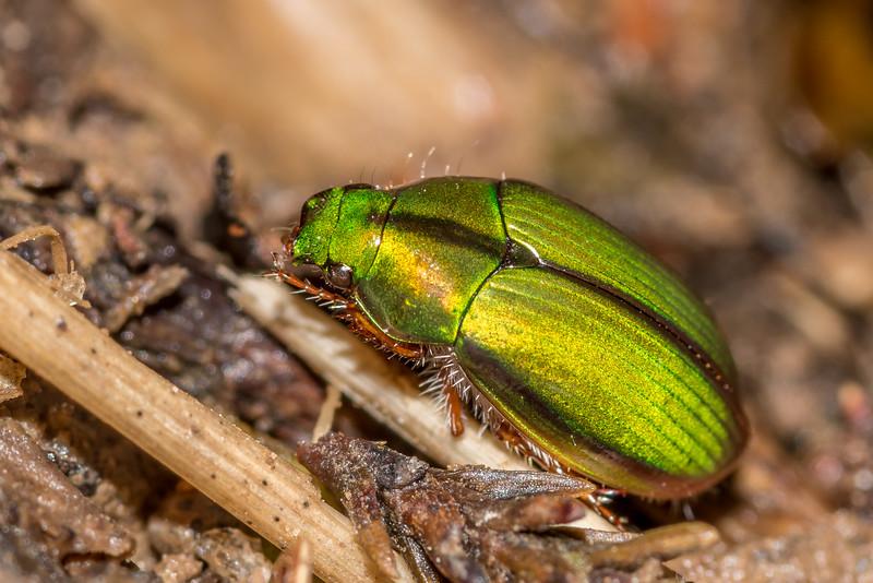 Mānuka chafer beetle / kēkerewai (Pyronota festiva). Pt 386m north of Pigeon Saddle, Abel Tasman National Park.
