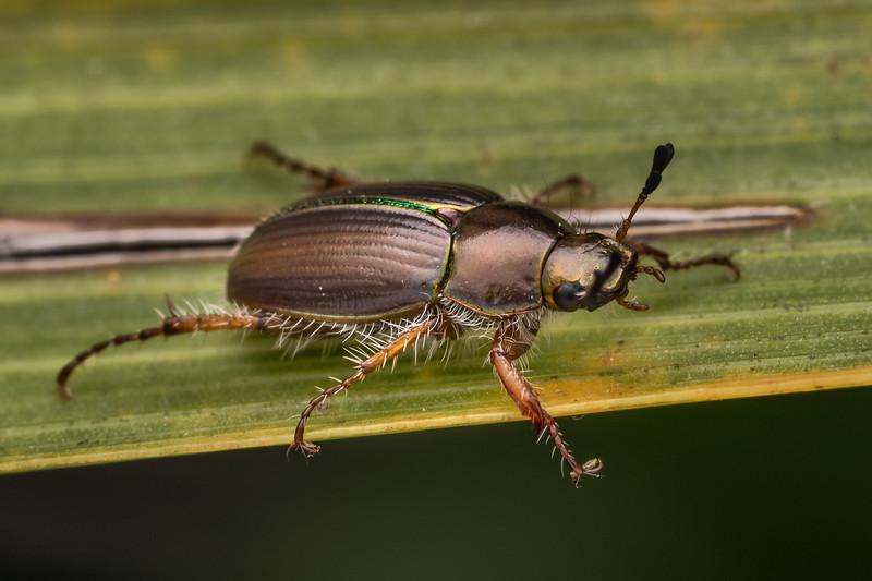 Chafer beetle (Pyronota setosa). Travis Wetland, Christchurch.