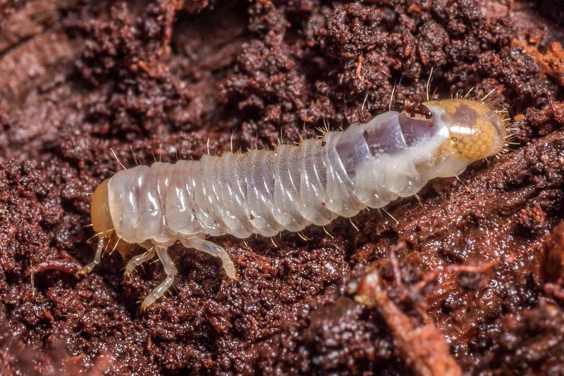 Scarab beetle (Family Scarabaeidae) larva. Flora Hut, Kahurangi National Park.