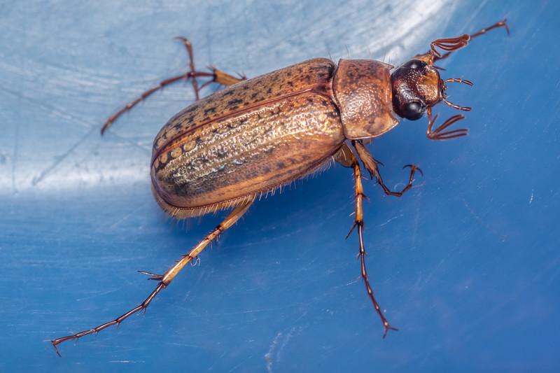 Chafer beetle (Sericospilus advena). Cozette Burn, Fiordland National Park.