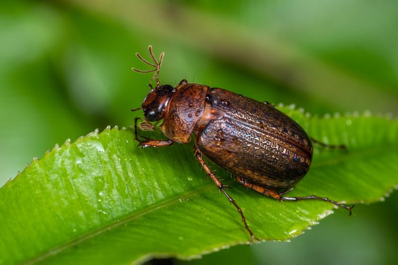 Chafer beetle (Sericospilus advena). Blue River Hut, Moeraki River, Westland.