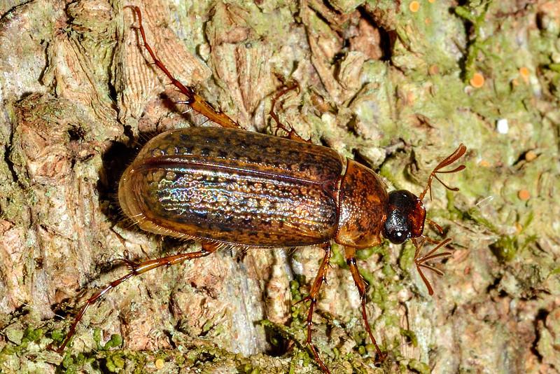 Chafer beetle (Sericospilus advena). Caples River, Mount Aspiring National Park.