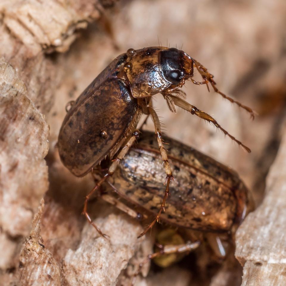 Chafer beetle (Sericospilus aenealis). Flora Hut, Kahurangi National Park.