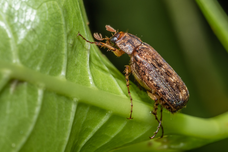 Scarab beetle (Sericospilus costellus). Peach Cove, Whangarei Heads, Northland.