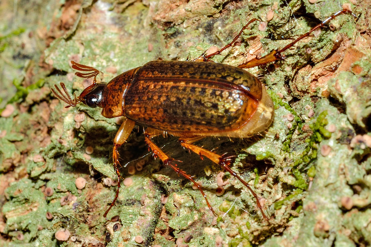 Chafer beetle (Sericospilus spp.). Caples River, Mount Aspiring National Park.