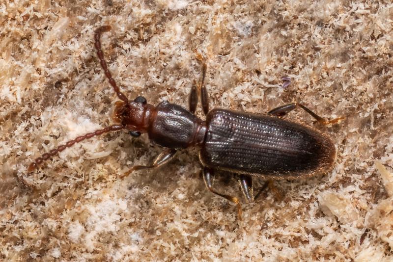 Shorthorned flat beetle (Cryptamorpha brevicornis). Te Whare Okioki, Kaimai Range, Waikato.