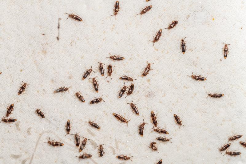 Rove beetles (Family Staphylinidae) on the underside of an artist's bracket fungus (Ganoderma spp.). Blue Lake, Rotorua.